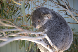 humane-society-international-australia-koala-protection